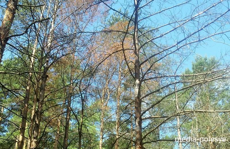 Короеда поймать и уничтожить можно, спилив дерево и сжигая затем порубочные остатки
