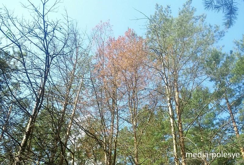 Короед селится в верхней части дерева