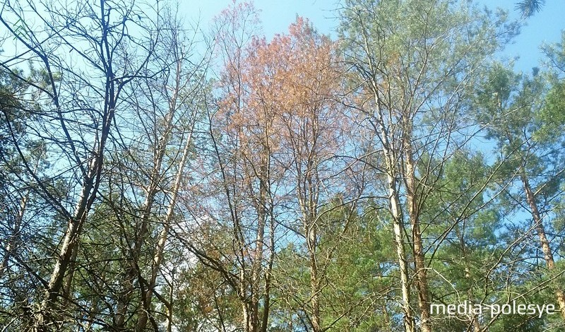 Сухие ветви сосны в лесу на Столинщине свидетельствуют о заражении жуком-короедом. Фото из архива Медиа-Полесья, 2017 год