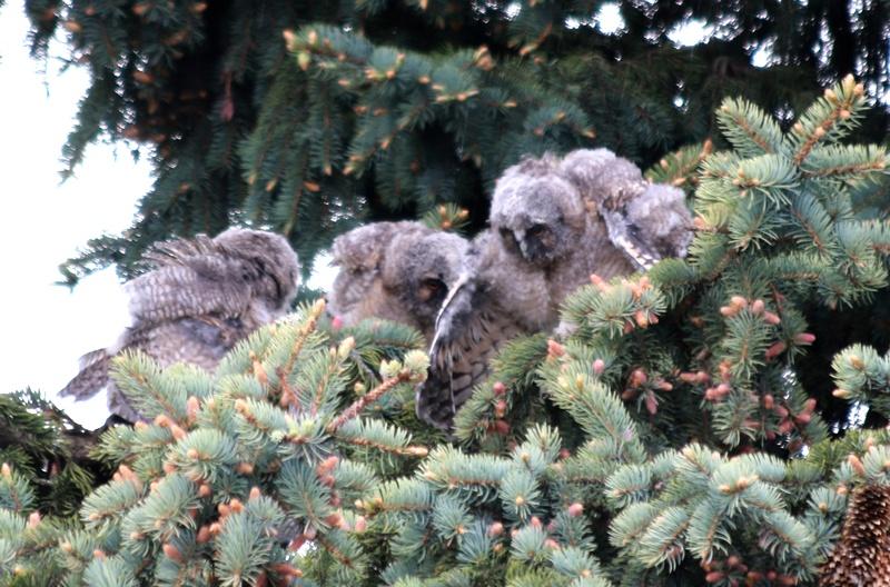 Слетки ушастой совы. Фото Д. Гутковского