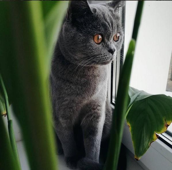#домашниеживотные #кот #британскаякошка #loveanimals #belarus