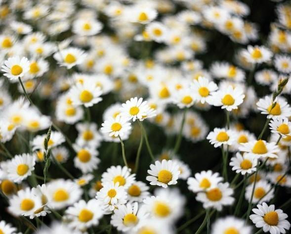 #ромашки #цветы #лето #луг #полесье #chamomile