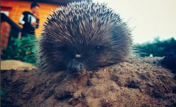 #ежик #ёж #мило #животное #природа #hedgehog #animal #nature #cute #mediapolesye