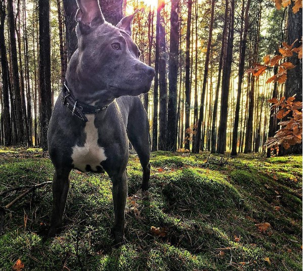 #собака #собакадруг #влесу #лес #осень #солнечныйдень #прогулка #стаффорд