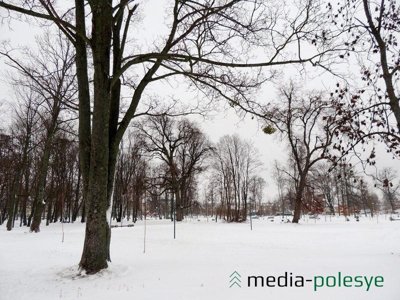 Омела «красуется» на некоторых деревьях в парке