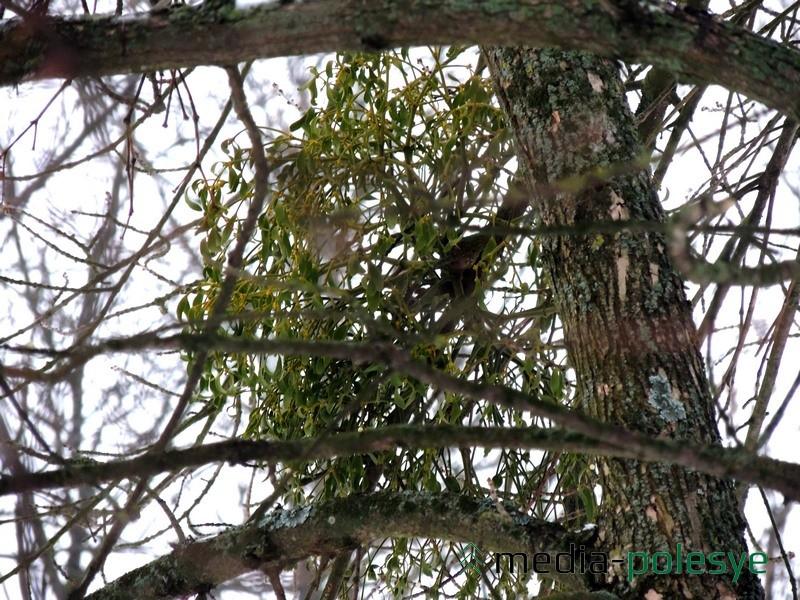 Ягоды омелы созревают в августе-сентябре