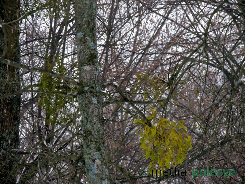 Омелу хорошо видно, когда деревья без листьев