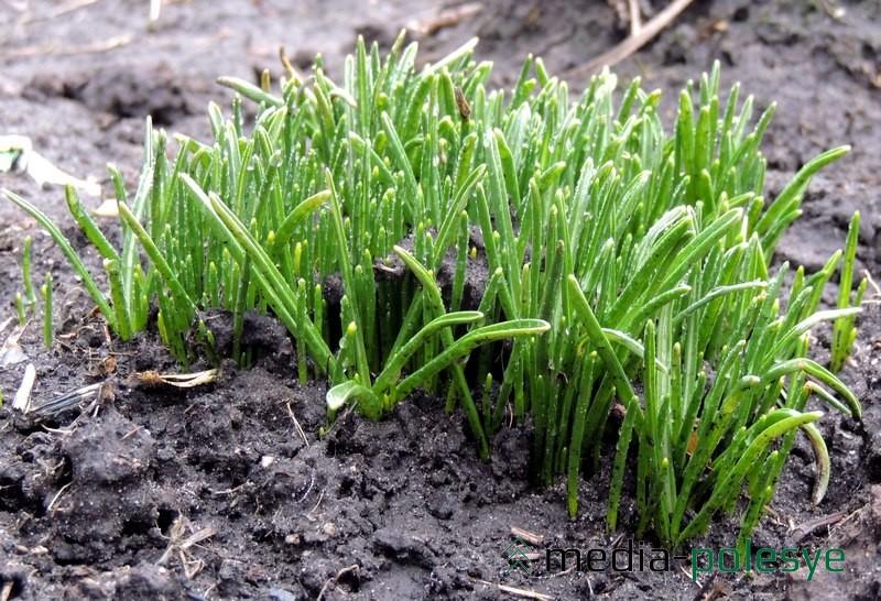 Мелколуковичные растения появляются первыми