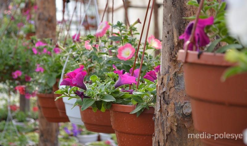 Такие цветы в подвесных кашпо выращивают в своей теплице Балицкие