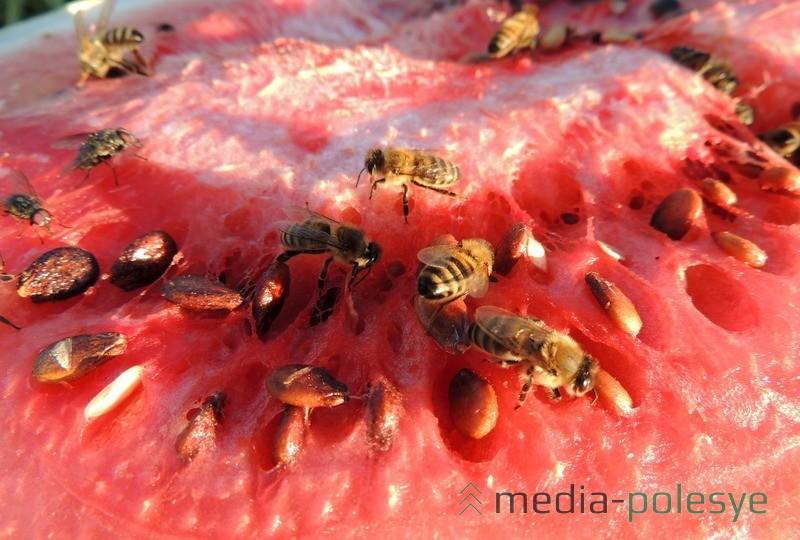 Арбузами любят лакомиться и пчёлы