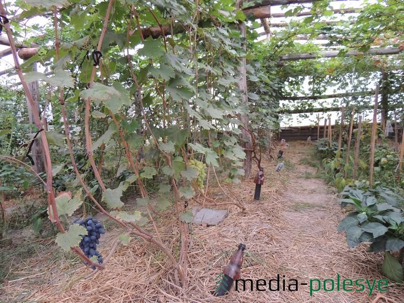 В теплице растут особенно теплолюбивые кусты винограда