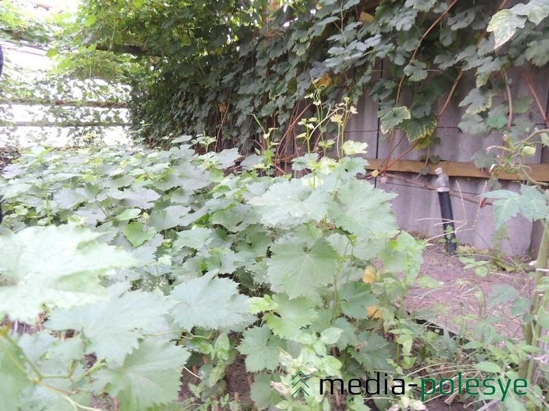 «Школка» в теплице виноградаря Николая Омельчука