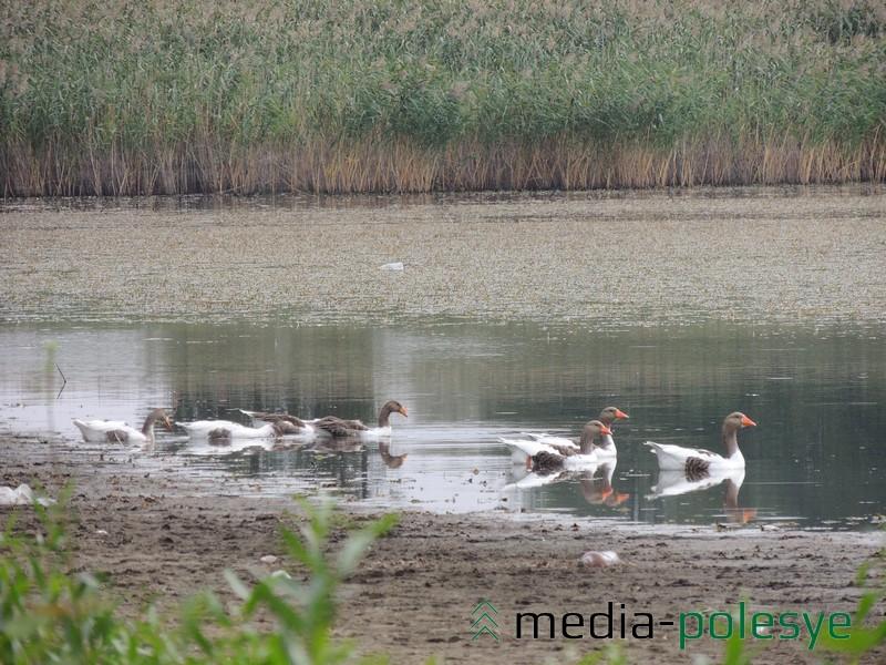 «Местные» утки держатся отдельно от лебедей