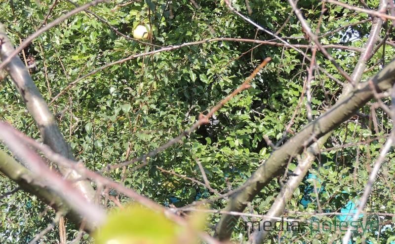 На груше за вишней видны плоды нынешнего урожая