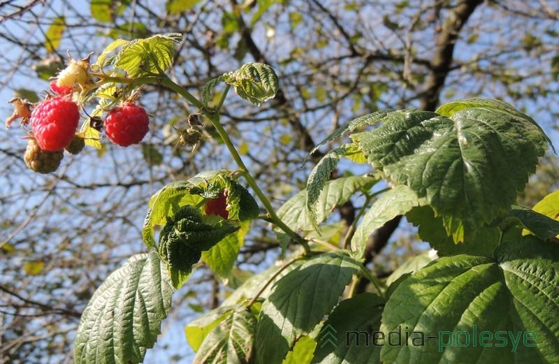 Ягоды малины в саду читательницы плодоносят второй раз за год