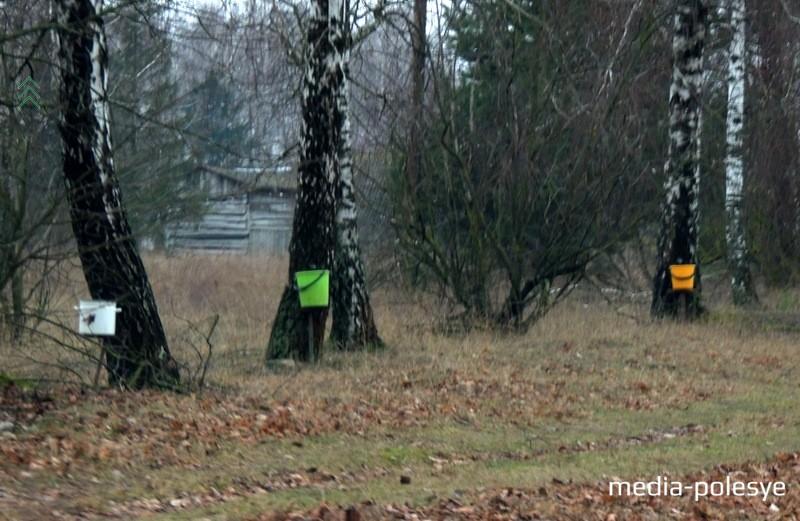 Отверстие для заготовки сока в стволе дерева надо делать на высоте 35-50см от уровня земли