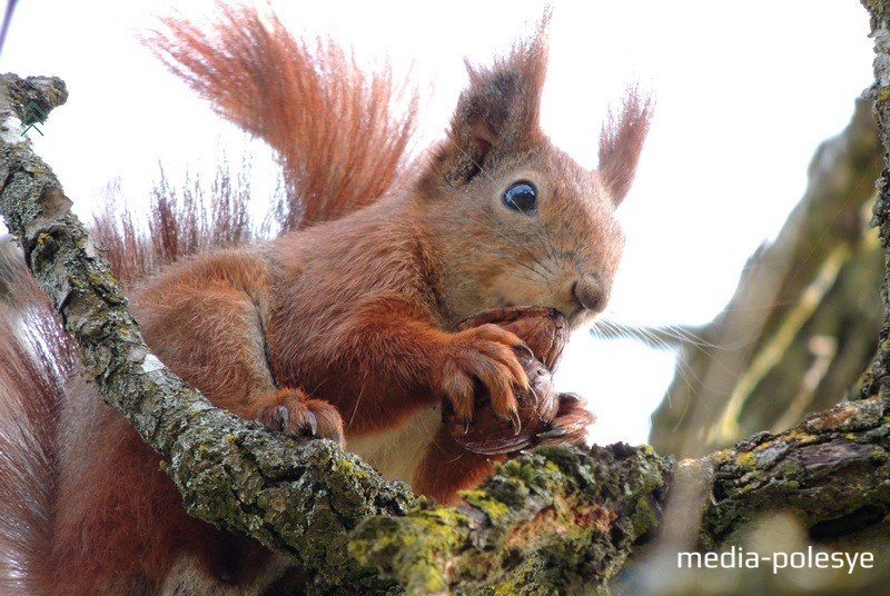 Этот зверёк смело сидит на груше и спокойно грызёт грецкий орех