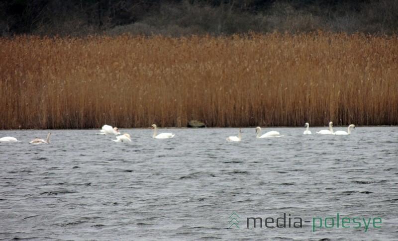 Рядом со взрослыми птицами плавают молодые лебеди. Их можно отличить по цвету