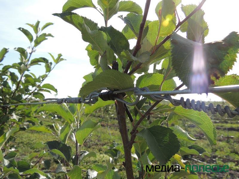 Резинка не препятствует росту дерева