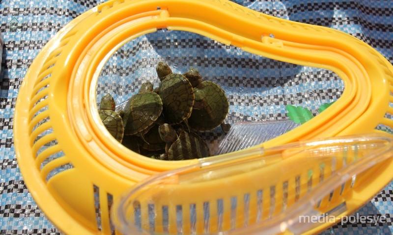 Десятки черепашек продают просто на улице