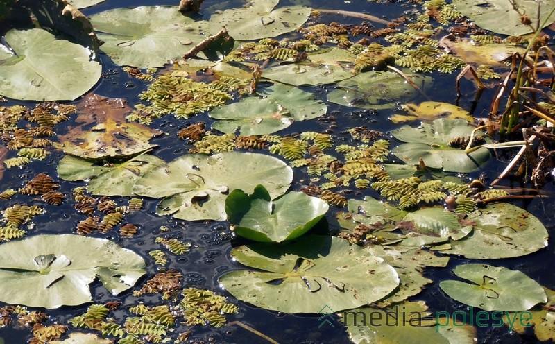 Эти мелкие листья, похожие на папоротник, и есть краснокнижная Сальвиния