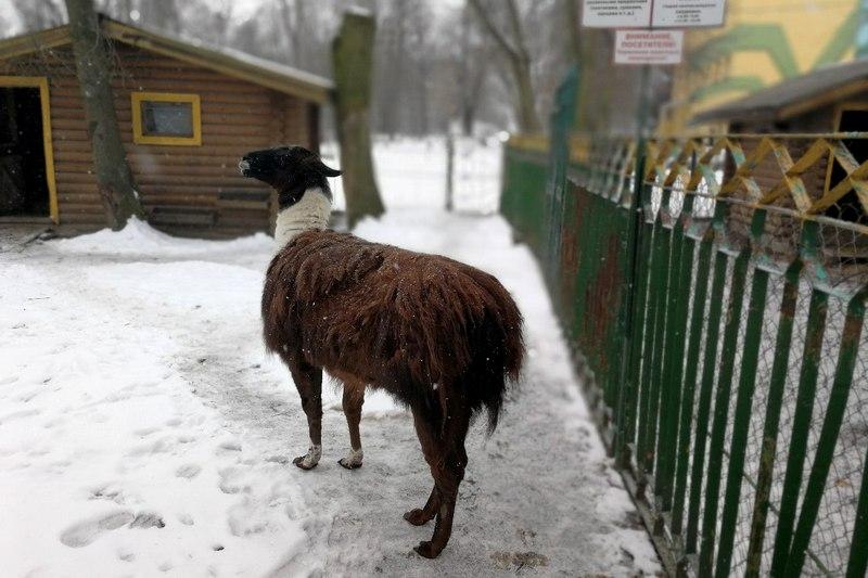 Лама из Пинского зооуголка требует стрижки, фото из соцсетей