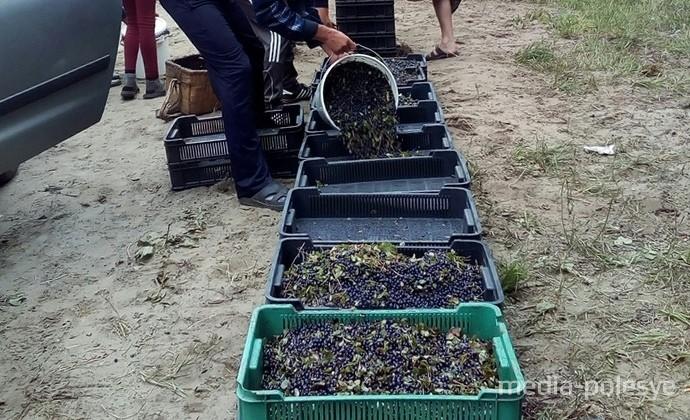 Заготовители за ягодами подъезжают прямо к лесу