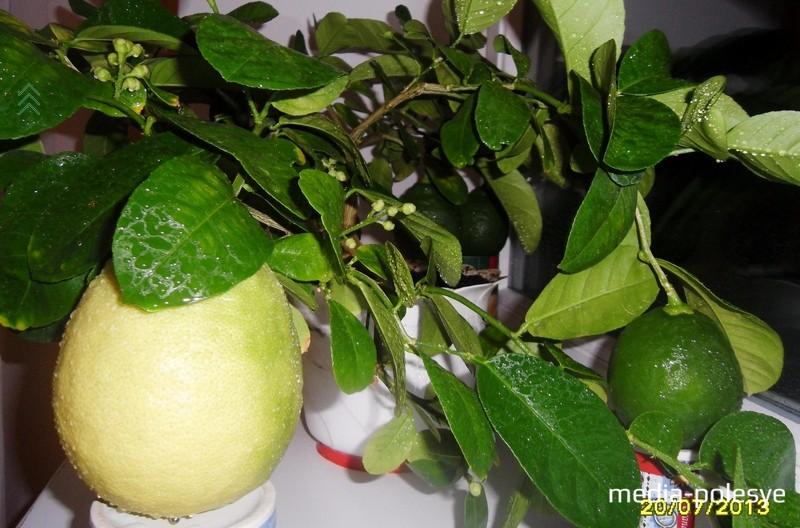 Один лимон скоро созреет, остальные тоже, что называется, на подходе