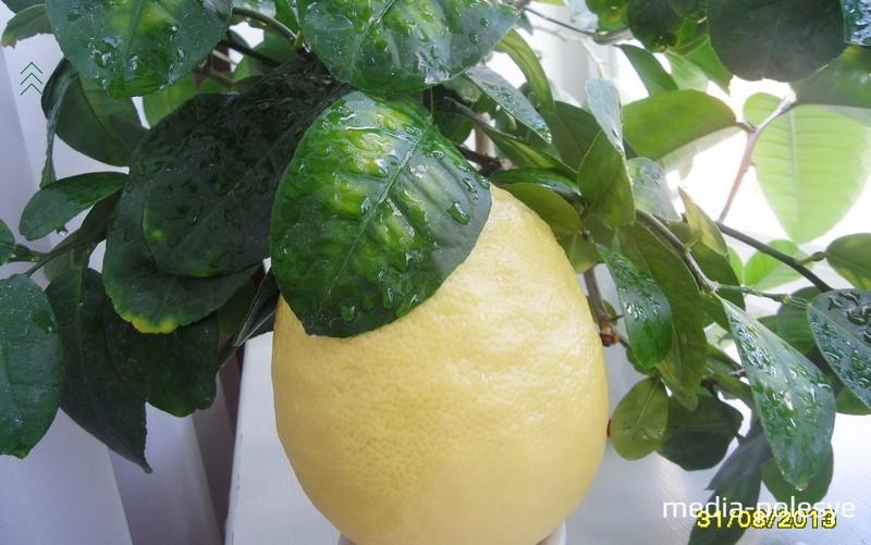 От момента завязи лимона до его полного созревания проходит 8-9 месяцев. 2013 год