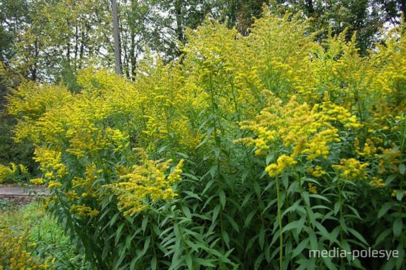 Считается, что растение приносит вред и пагубно влияет на флору и фауну. На местах, где растёт канадский золотарник, не растут другие виды растений