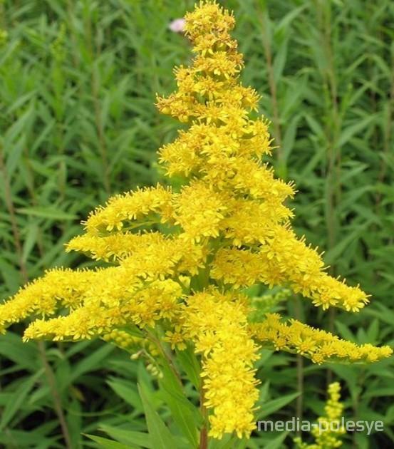 Сейчас, во время цветения, растение легко распознать и избавиться от него