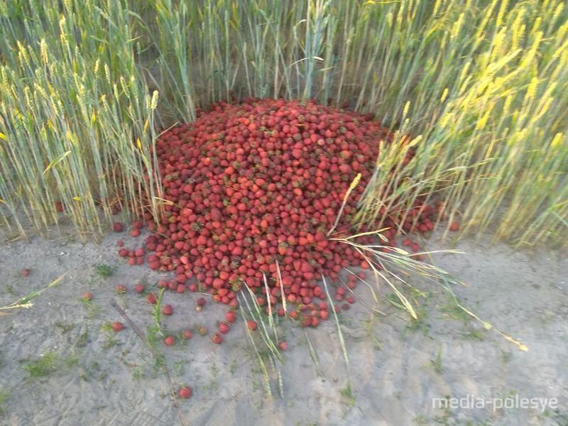 Лунинетчина завалена клубникой. Из-за отсутствия сбыта люди выбрасывают ягоду прямо в поле