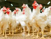 Птица долетит до Китая: прямые поставки отечественной курятины стартуют в середине года
