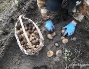 Затариться картофелем можно по 20 копеек за кг