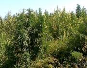 «Коси и забивай». На территории Пинска уничтожили 175 кг наркосодержащих растений