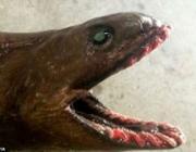 Чудовищную доисторическую акулу выловили рыбаки у берегов Австралии