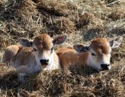 150 коров и телят спасли от огня в одном из СПК Столинщины