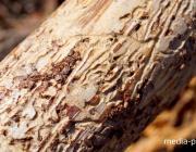 Сплошная вырубка леса ведётся в городской черте Пинска