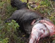 Двух лосей убили браконьеры на Столинщине