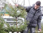 Больше полутысячи елей продали в Столинском лесхозе