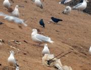 В Минске на свалке нашли новый для Беларуси вид птиц
