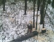 В белорусских лесах стало больше фотоловушек - число пойманных нарушителей выросло в полтора раза