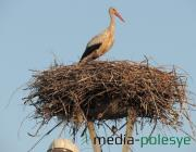 Орнитологи бьют тревогу: аистов на Полесье стало меньше