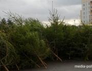 Лесхозы Беларуси продали 139 996 елей и сосен в предпраздничные дни