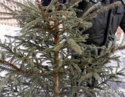 Лунинецкий лесхоз назвал цены на новогодние ели