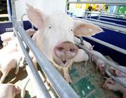 Поголовье свиней в Беларуси будет восстановлено к 2015 году