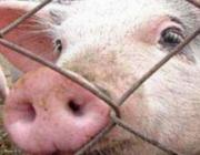 В Щучинском районе на частных подворьях предложили уничтожить всех свиней, жители подозревают африканскую чуму