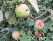 План по заготовке яблок в Лунинецком районе уже перевыполнен