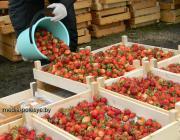 Клубничной сезон стартовал в Лунинецком районе. Цена первой ягоды – 15-18 тысяч