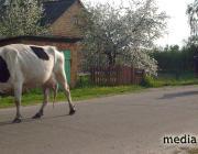 В хозяйствах Столинщины  готовятся к переводу скота на летние пастбища